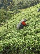Ceylon-Tea-Trails-16